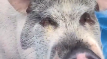 Let Hammy live in peace! Emotional-support pig faces eviction in Florida.
