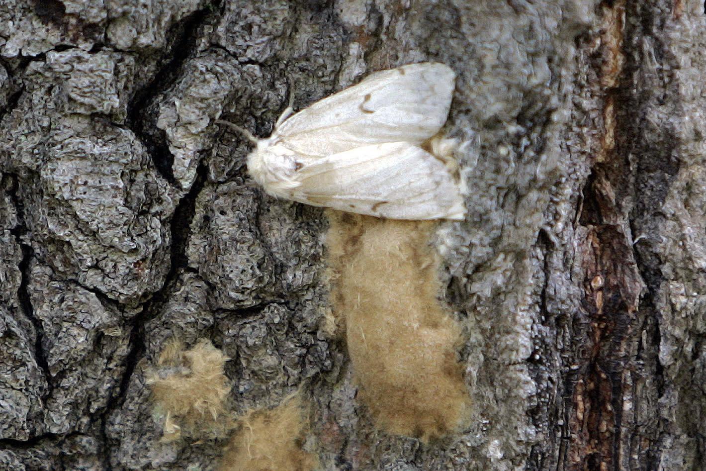 Bug experts seeking new name for destructive gypsy moths