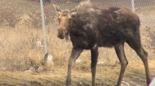Moose on the loose north of Toronto believed to be resting