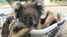 Dozens of koalas settling into new home after over-eating trees