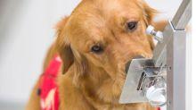 El mecanismo por el que los perros pueden detectar los síntomas del Covid 5 días antes de que empiecen
