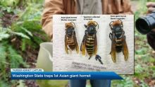 Asian giant hornet captured in Washington State
