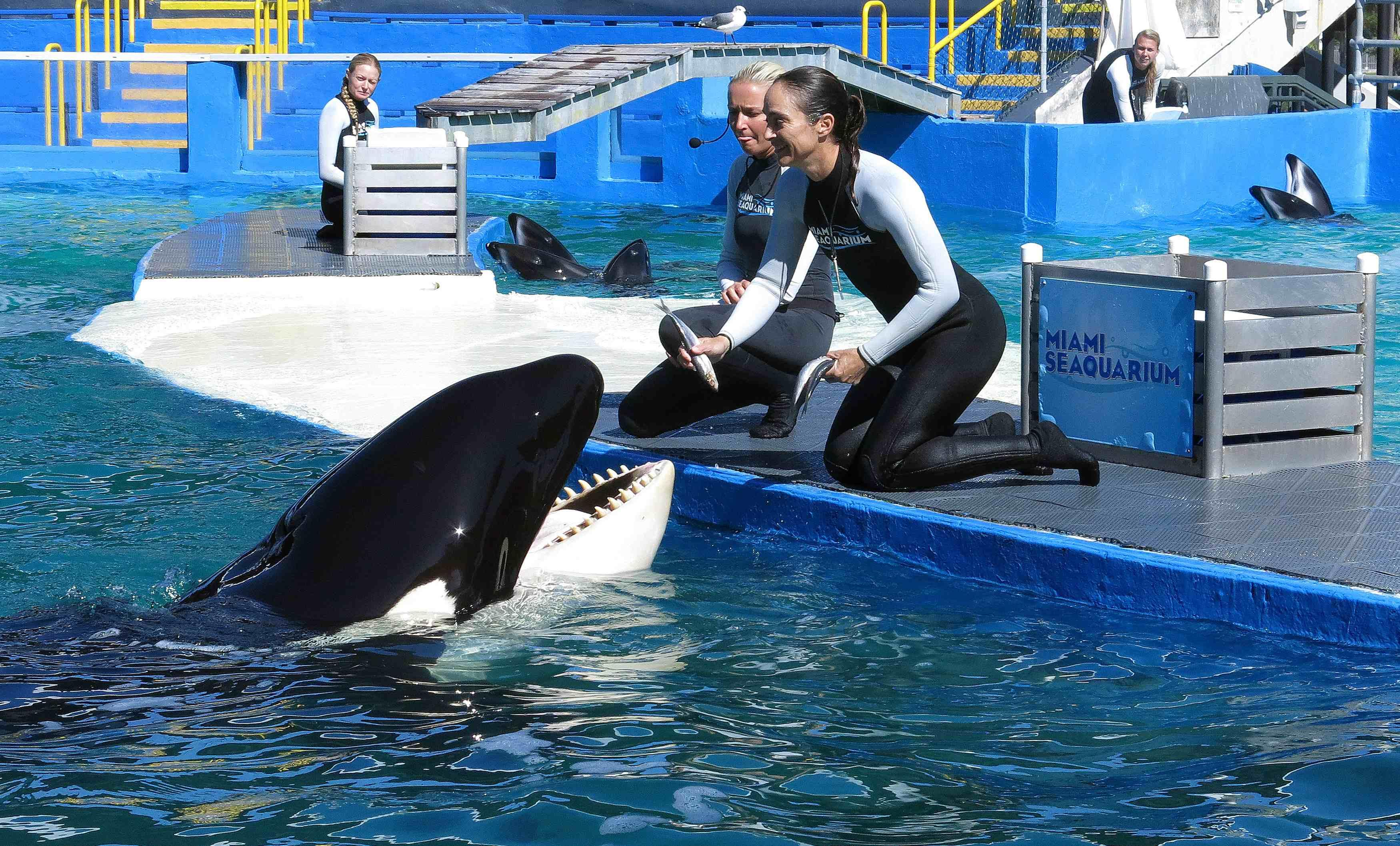 killer whale captivity Long-distance communication, naturalistic soundscapes and the encouragement of pod behavior could make life in captivity better for orcas.