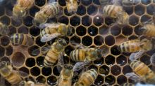 The 'blue halo' effect: How some flowers seduce bees