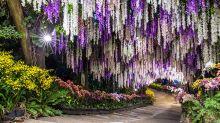 35公尺紫藤花海隧道 浪漫美拍不用飛日本