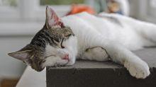 Kennst du diese Katzenrasse?
