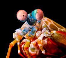 Mantis Shrimp Can Punch Each Other to Death But Prefer to Resolve Conflicts Peacefully