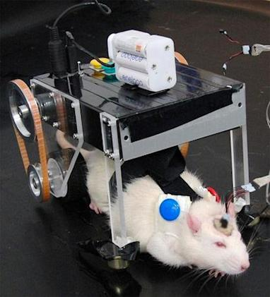 Rat controls vehicle with its brain, Pinky and The Brain apply for 'one last run'