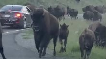 Harrowing video shows herd of bison charge family trapped in car at Yellowstone Park