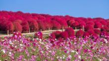 秋季必看火海毛茸茸掃帚草!十月為最佳觀賞期
