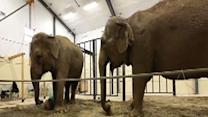 Road to recovery leads elephants to Maine