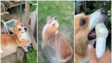【有片】日本狗狗淋花開心到癲 跟實水喉跑影片Twitter熱傳