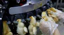 China's chicken chain comes unstuck amid chaos of virus measures