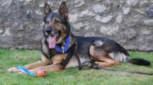 El valeroso pastor alemán que fue apuñalado mientras salvaba la vida a su dueño, recibirá el premio George Cross para animales