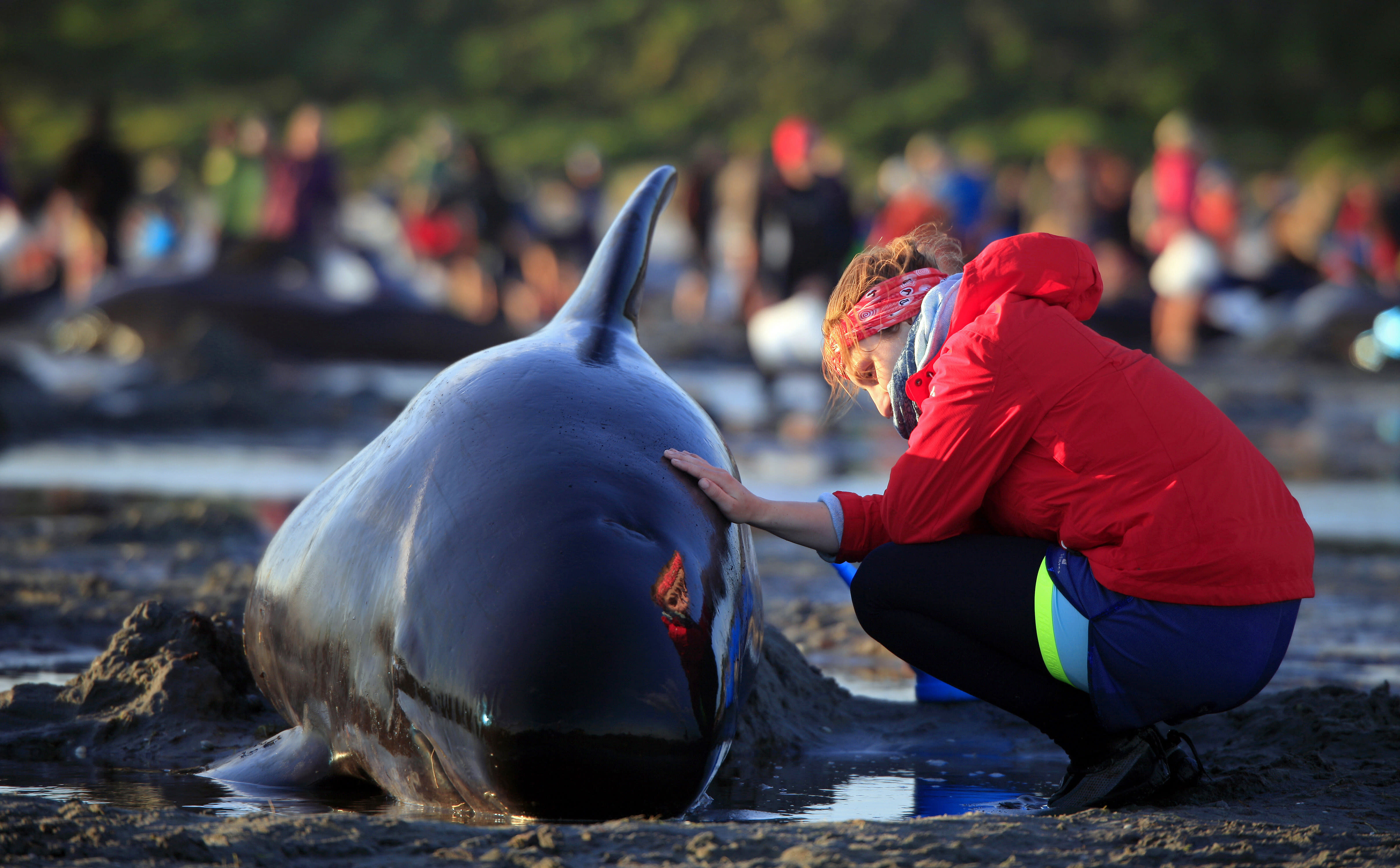 <p> In this Friday, Feb 10, 2017 photo, German visitor Lea Stubbe rubs water on a pilot whale that beached itself at the remote Farewell Spit on the tip of the South Island of New Zealand. Volunteers in New Zealand managed to refloat about 100 surviving pilot whales on Saturday, Feb. 11, 2017 and are hoping they will swim back out to sea after more than 400 of the creatures swam aground at a remote beach. (Tim Cuff/New Zealand Herald via AP) </p>