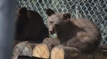 Bear cub burned by Colorado wildfire healing, gaining weight