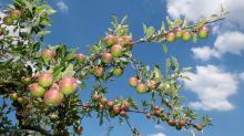 Obstbauern freuen sich über warmen Sommer