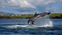 La historia de Fungie, el delfín solitario que vive desde hace décadas en un puerto irlandés