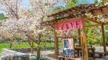 福壽山農場賞櫻趁現在 日本粉白櫻花爆滿盛開