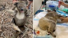 The battle to save Australia's dying koalas continues amid coronavirus crisis