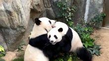 Zoo chiude per il coronavirus, i panda si accoppiano dopo 10 anni