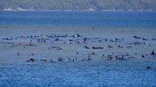 En Tasmanie, 180 cétacés sont coincés dans une baie