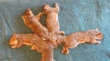 Wie sich fünf Eichhörnchen ineinander verhedderten und gerettet wurden