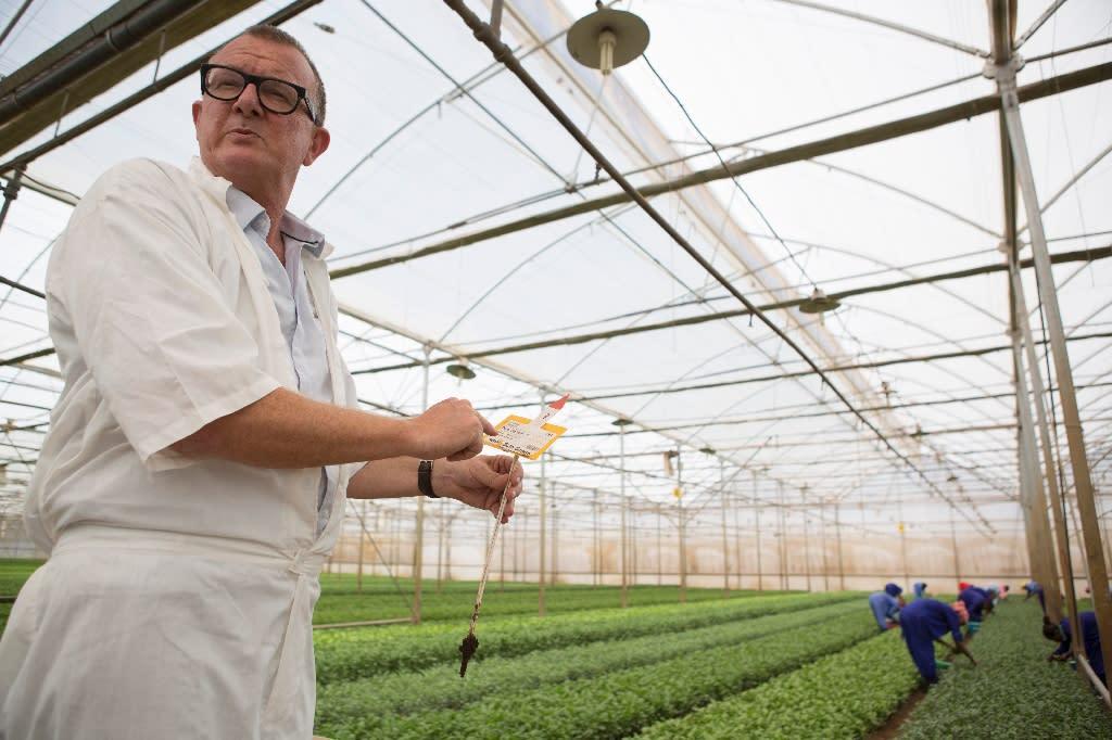 Marc Driessen, the Head of Maranque Plants, a Dutch flower farm located near Sodore, in Ethiopia's restive Oromia Region, works on October 19, 2016 (AFP Photo/Zacharias Abubeker)