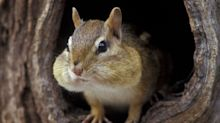 Chipmunks Have Been Wreaking Havoc on Your Yard This Summer? You're Not Alone