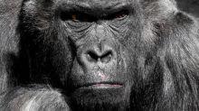 Guardiana aggredita in uno zoo di Madrid: gorilla le spezza le braccia