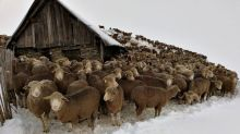 6,000 sheep stranded in the French Alps after snowfall