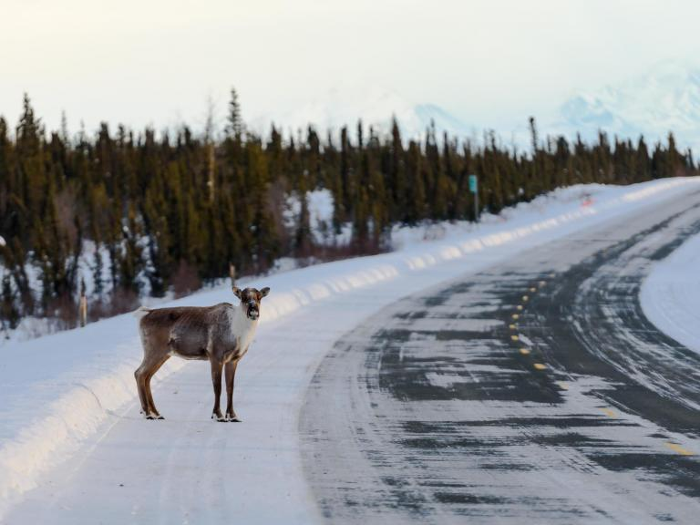 Last surviving American reindeer hoped to breed after being added to Canadian herd