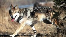 Record number of Mexican gray wolves found dead in 2018