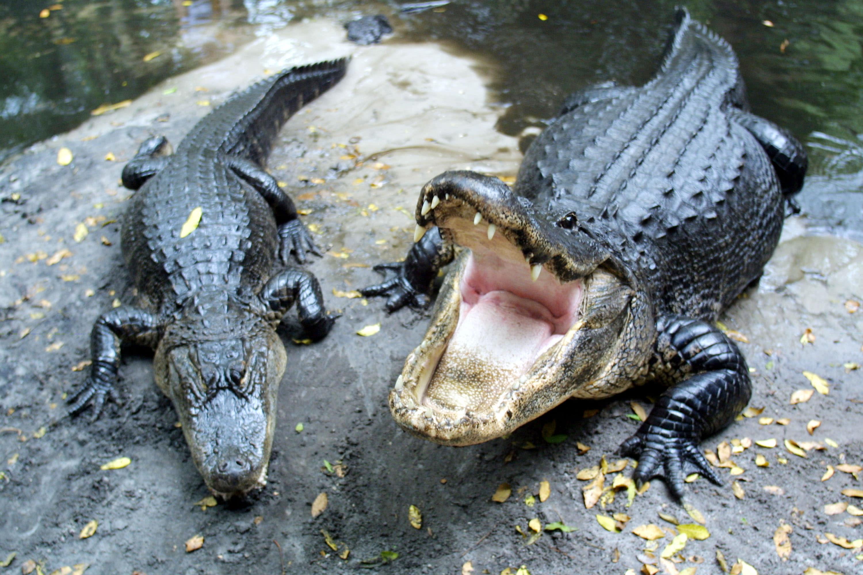 orlds biggest alligators - HD1200×800