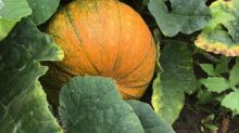 How to protect summer vegetables from mildew