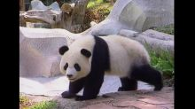 Panda death in Thailand sparks outrage in China