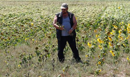 Farmer Holger Lampe poses with a sunflower plant in a dried out sunflowers field near Breydin, Germany, July 30, 2018. REUTERS/Fabrizio Bensch