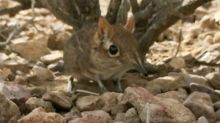 Tiny Elephant Shrew, Thought to be Missing for 50 Years, Finally Spotted in Africa