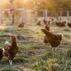 Chicken shortage sends prices soaring