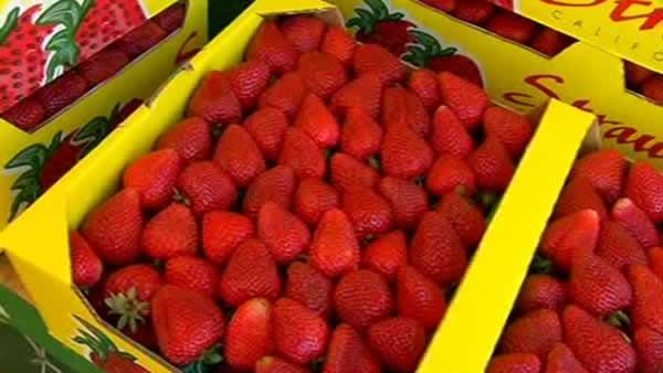 Shortage of farm workers to pick strawberries