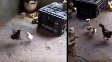 Pequeños grandes héroes: pollito le da una lección a un gallo 'abusivo'
