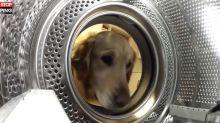 Un chien sauve sa peluche coincée dans une machine à laver (Vidéo)