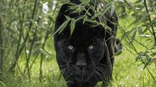 Villagers warned to be vigilant after black panther spotted on the loose in Scotland