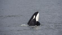 'Grief and love don't belong to us': Mother orca in mourning carries her dead calf for days