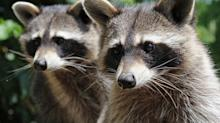 A Florida Science Teacher Has Been Accused of Drowning Raccoons in Front of Students