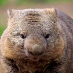 Scientists solve mystery of how wombats produce cubed poo