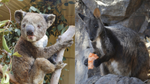 Scientists Are Trying to Find Survivors of Endangered Species in Australian Bushfires