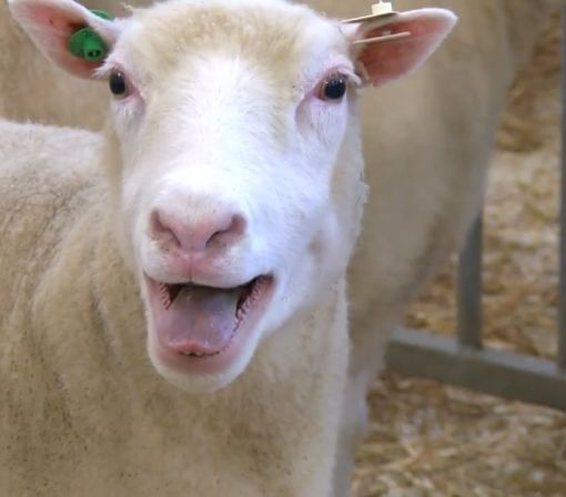 Dolly the sheep's clones are perfectly healthy, which could be huge for the future of cloning