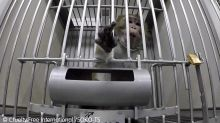 German laboratory accused of animal cruelty after undercover investigation