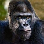 Coronavirus: Gorillas and orangutans on lockdown to avoid catching Covid-19 from humans